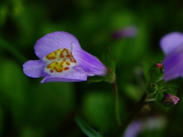 紫の花_20150523P_P1060483