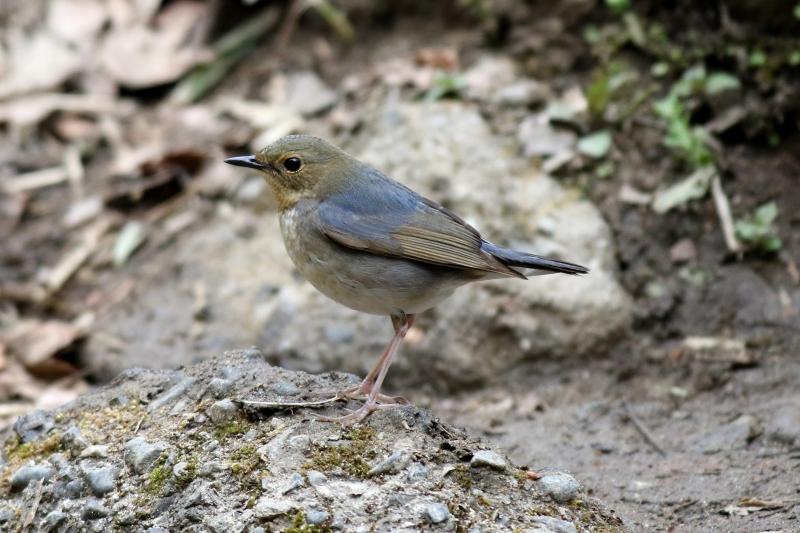 コルリワカ鳥2