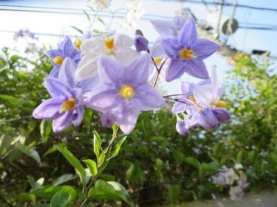 薄紫と白の小花
