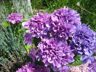 ハイウェイパークの紫陽花