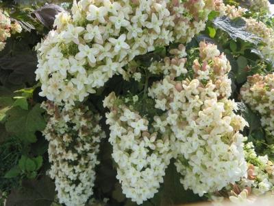 最近よく見かける、白い花の集まり