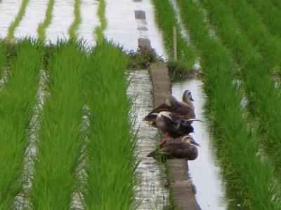 鴨三羽、縦並び