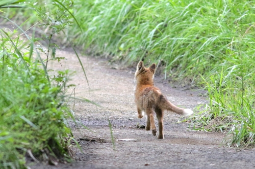 子狐散歩後mネ995A0886 -2