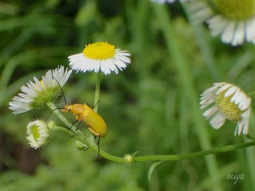 黄色朽木虫mネP7030098 -2