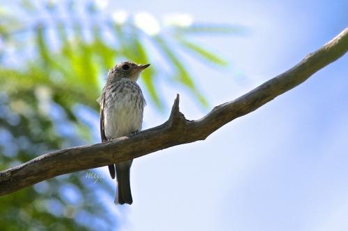 こさめ幼鳥横mネ995A2942 -3