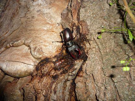 樹液に来たヨーロッパミヤマ