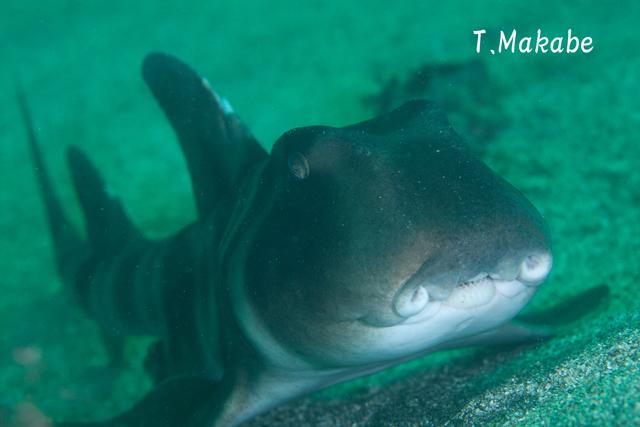 伊豆海洋公園のネコザメ