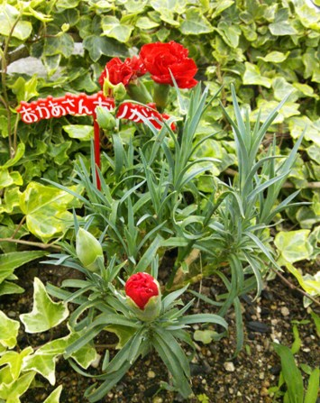 carnation4.jpg