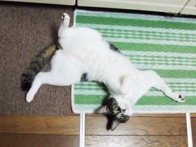 これが家猫