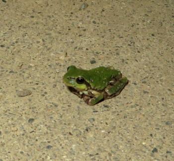 2015_06 28_現場へ客人・雨蛙アップ