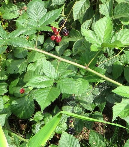 2015_07 12_熟したブラックベリー、鳥に食べられる・1