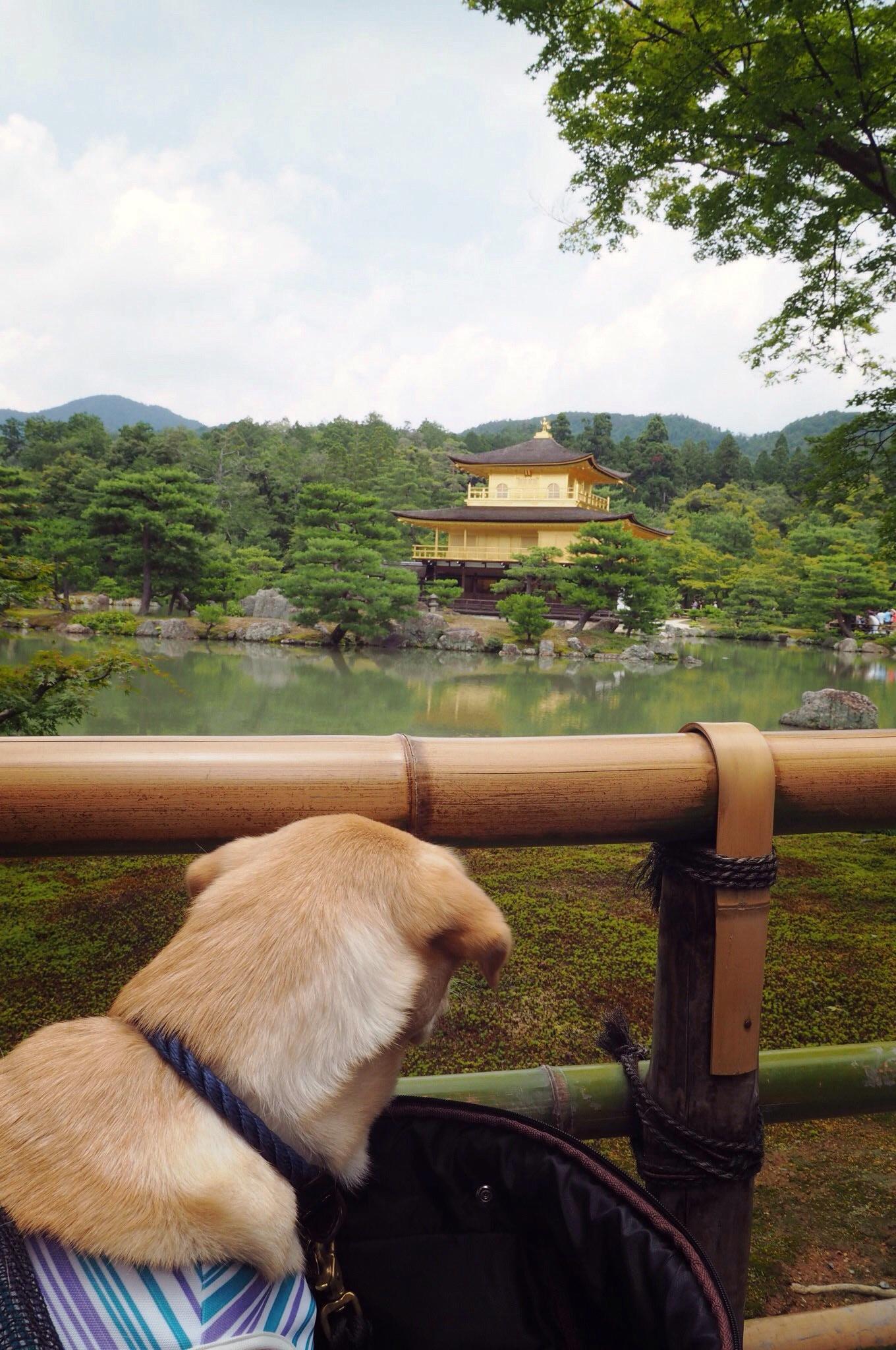 金閣寺 大型犬 わんこ 京都
