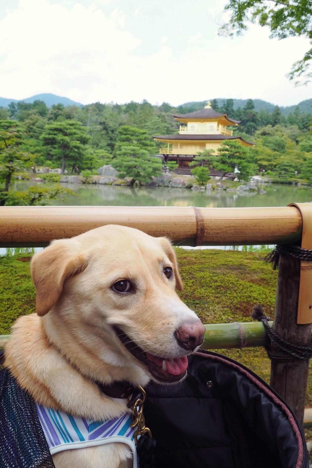 金閣寺 わんこ 大型犬 京都