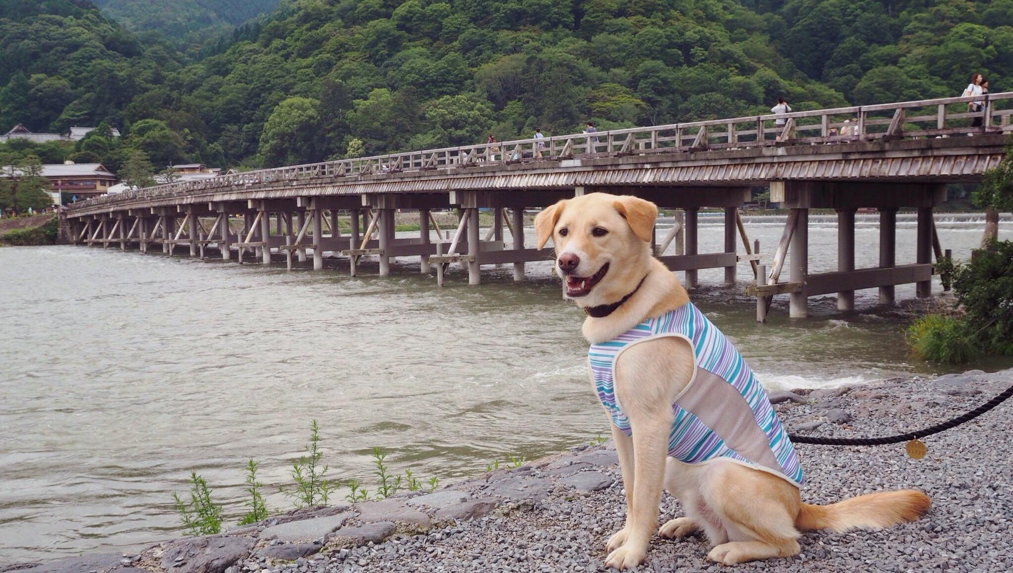 嵐山 大型犬 わんこ 京都旅行
