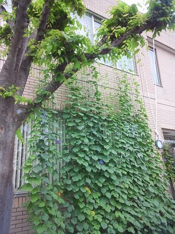 20150729 緑のカーテン 2 ブログ