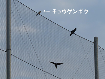 チョウゲンボウ38