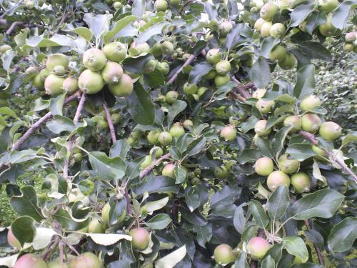 リンゴ生りすぎ・・・(27.6.23)