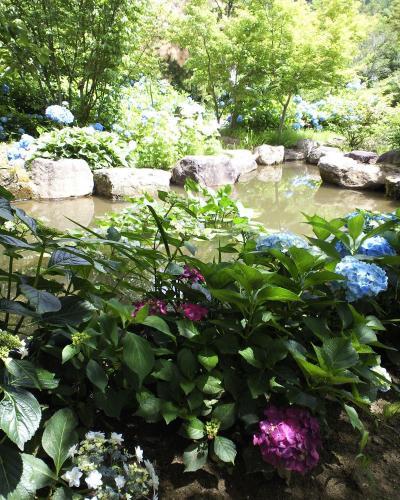 池の周りの紫陽花(27.6.28)
