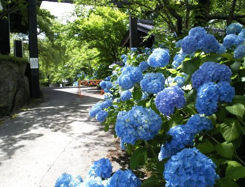 横入口の紫陽花(27.6.28)
