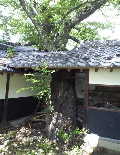 桜の木が・・・(27.6.28)