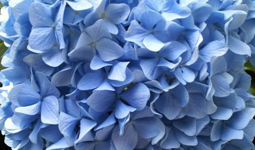 紫陽花アップ(27.6.28)
