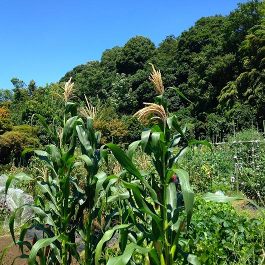 市民農園トウモロコシ