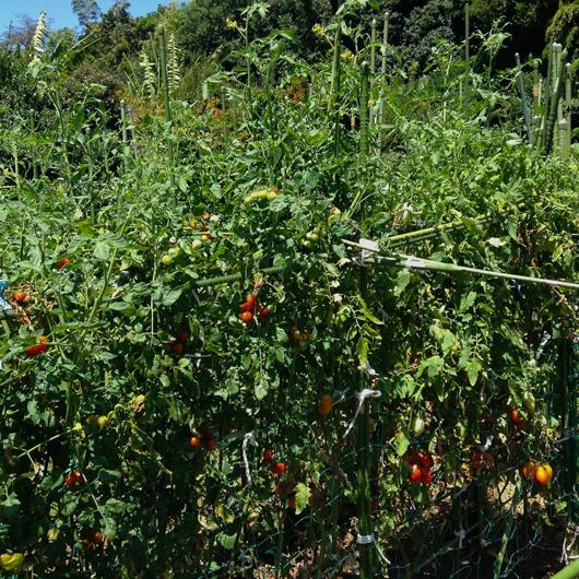 市民農園ミニトマト