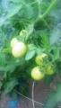 青いクッキングトマト