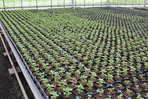 ネメシア パステシア ピンチ  育種 生産 販売 松原園芸