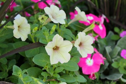 20150720 花壇植栽 ペチュニア 妖精のチュチュ カリブラコア ニチニチソウ イネ オリザ de ショコラ1