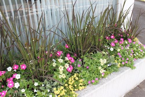 20150720 花壇植栽 ペチュニア 妖精のチュチュ カリブラコア ニチニチソウ イネ オリザ de ショコラ2