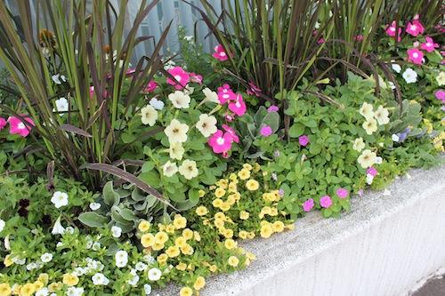 20150720 花壇植栽 ペチュニア 妖精のチュチュ カリブラコア ニチニチソウ イネ オリザ de ショコラ4