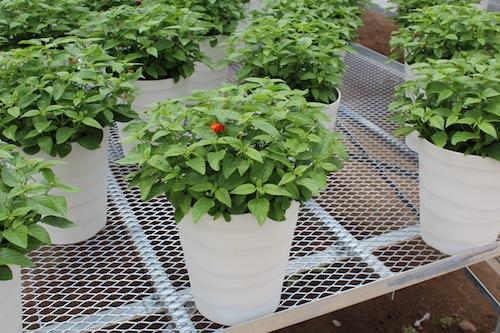 スーパーランタナ 8号鉢 レインボーオレンジ  生産 販売 松原園芸