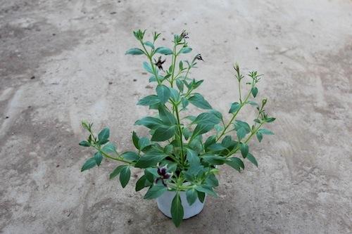 ペチュニア 育種中  生産 販売 松原園芸