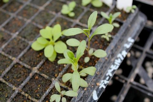 カリブラコア  実生 発芽  育種 生産 販売 松原園芸
