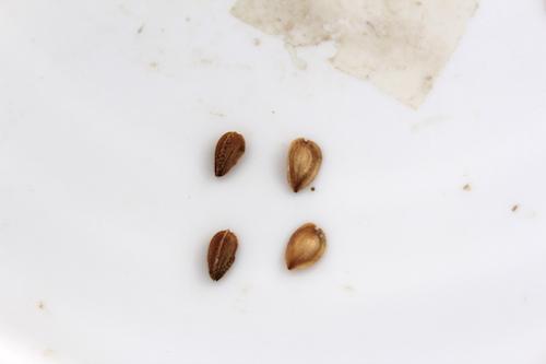 オステオスペルマム 種子  生産 販売 松原園芸 育種