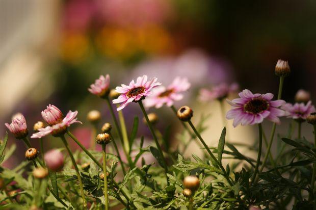 玄関先で咲いていたマーガレット