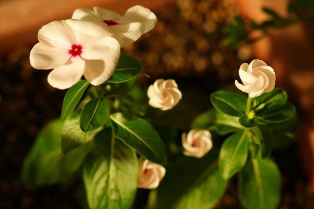 明日、開花予定!