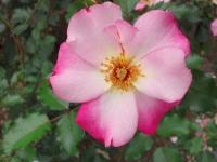 20150 花巻のバラ