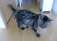 シャワー後のネコ