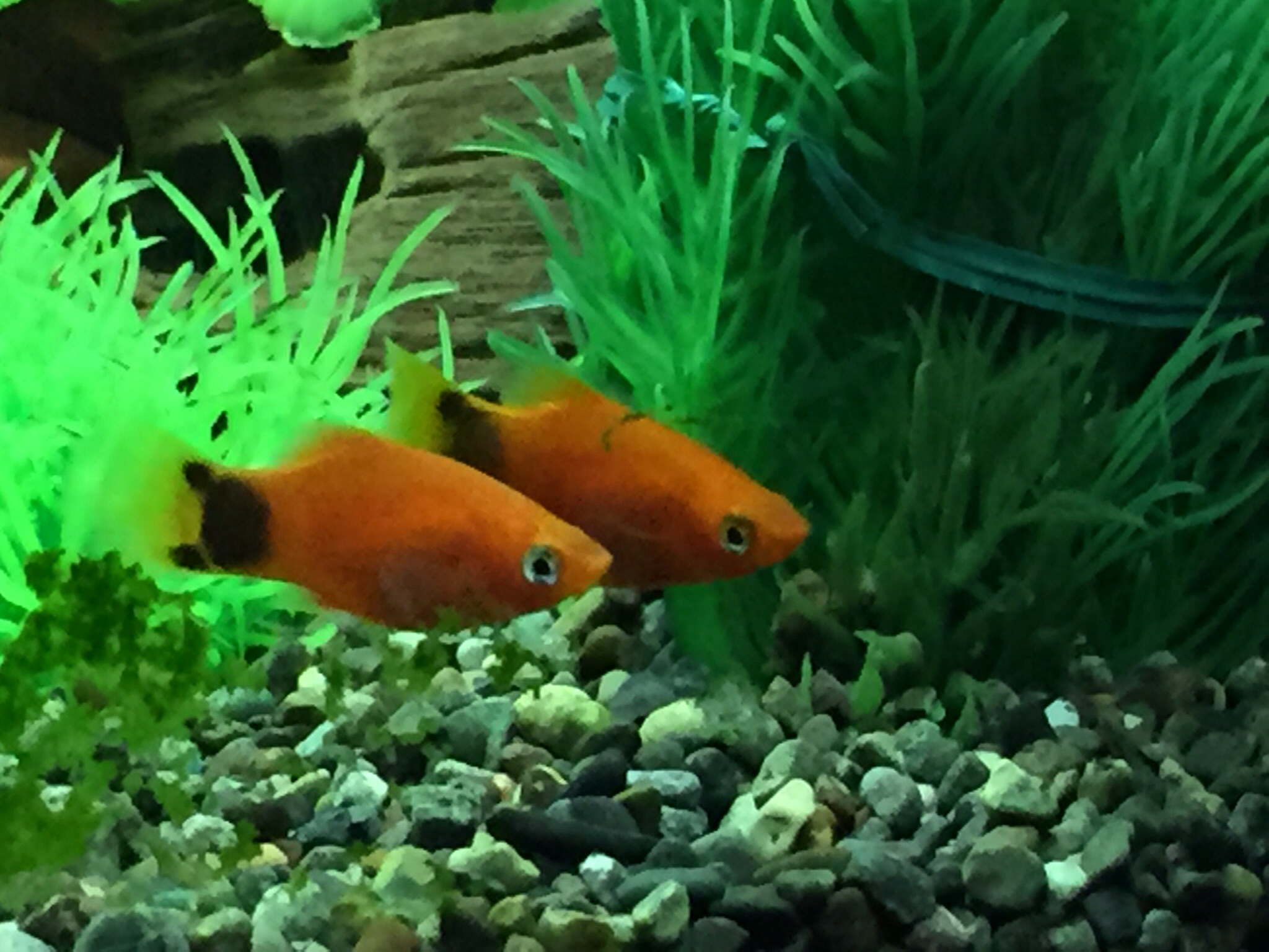ミッキー金魚1