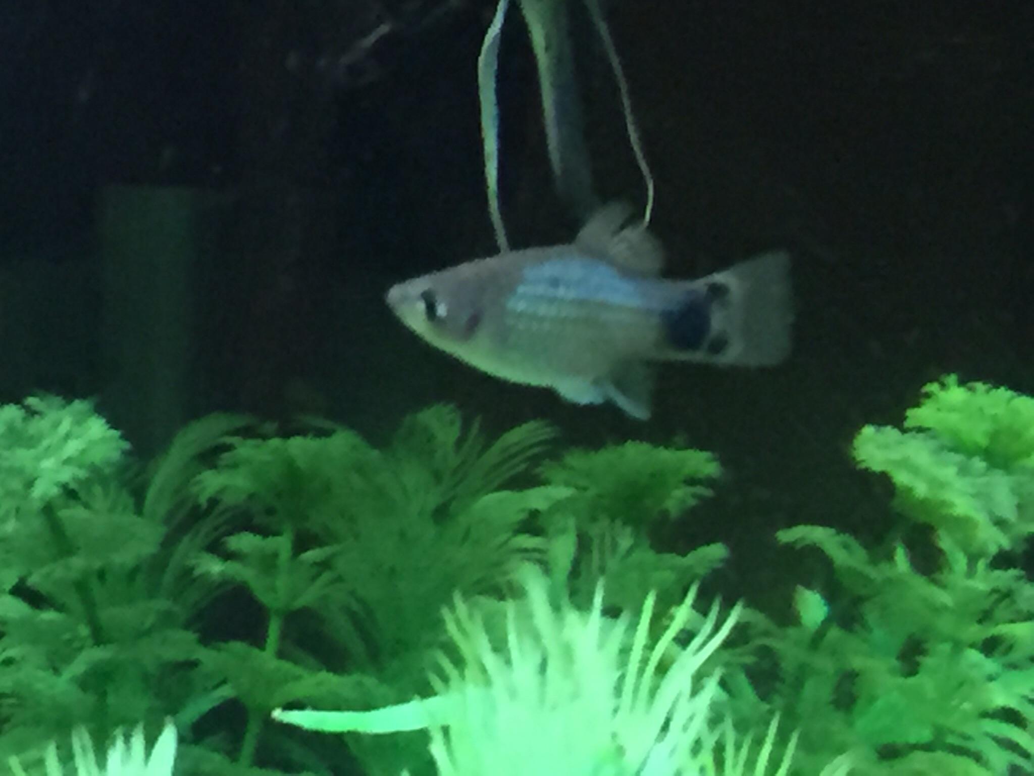 ミッキー金魚2