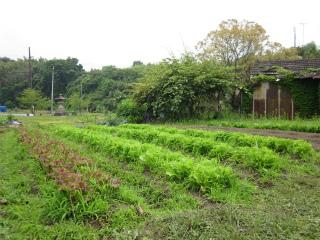 レタス畑 1