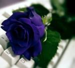 rose68.jpg
