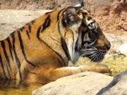 20150624上野動物園スマトラ虎1