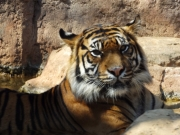 20150624上野動物園スマトラ虎2