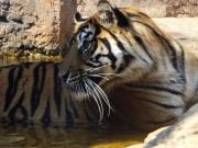 20150624上野動物園スマトラ虎3