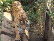 20150624上野動物園スマトラ虎4