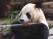 20150624上野動物園バンダ1