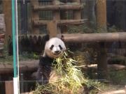 20150624上野動物園バンダ2